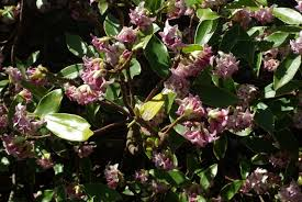 Scented Flowering Shrubs - beautifully scented flowering shrub help