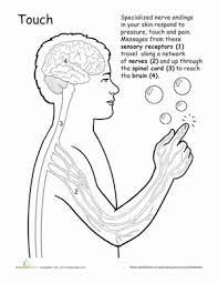Human Anatomy Worksheet Human Anatomy Sense Of Touch Worksheet Education Com