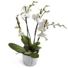 White Orchid Flower Orchid Flowers Regiobloemist