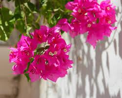 wall flowers free images blossom leaf flower petal green botany pink
