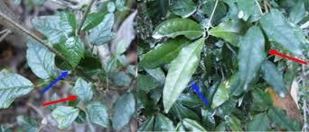 chameleon vine looks like whatever tree it climbs popular science