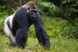 western lowland gorilla endangered species animal planet