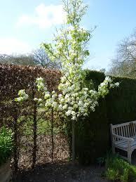 file pyrus calleryana chanticleer rosaceae tree jpg