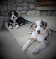 4 week old australian shepherd stonger miniature and standard aussies miniature and standard