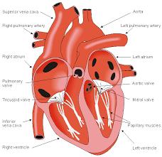 External Heart Anatomy 6 The Heart
