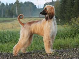 afghan hound pictures animals dogs beautiful afghan hound 049332 jpg