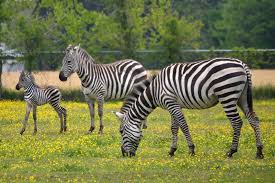 goats and donkeys and zebras oh my these days of mine