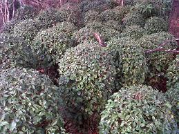 Teh Tehan jual tanaman teh tehan bulat tanaman pangkas untuk taman minimalis