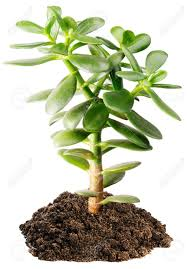 green small indoor tree succulent plant white background