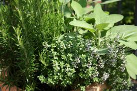 herbs information about herbs and their uses