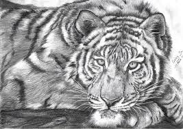 tiger sketch pictures the best tiger of 2017