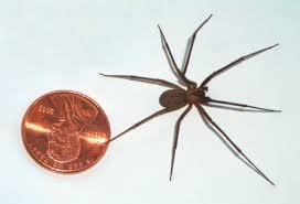 introduction to identifying brown spiders the infinite spider