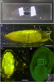 live imaging of myogenesis in indirect flight muscles in