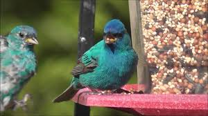 How To Attract Indigo Buntings To Your Backyard Indigo Buntings Feeding At Bird Feeder Youtube