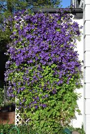 the great wall of purple u2013 gardeninacity