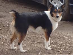 australian shepherd sheltie mix shetland sheepdog mixes