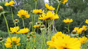 deer resistant native plants deer resistant wildflower seed mix american meadows