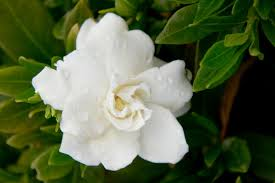 gardenia planting tips diy network blog made remade diy