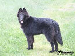 belgian shepherd rescue dogs 194 best х belgian shepherd groenendael images on pinterest