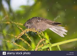 Canopy Birds by Seychelles Black Parrot Coracopsis Nigra Feeding In Tree Canopy At