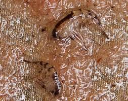 sue cullumber plankton food for the sea june 13 2013 noaa