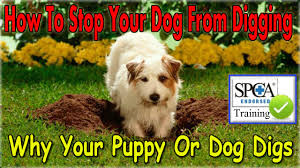how can i stop my dog from digging start today stop my