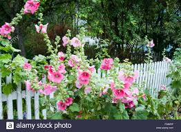 Hollyhock Flowers Pretty Pink Hollyhock Flowers And A White Picket Fence Stock Photo