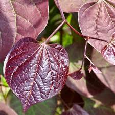 redbud native plant nursery ruby falls redbud at wayside gardens