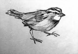 drawn sparrow pencil pencil and in color drawn sparrow pencil