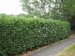 laurel2 jpg 360 270 pixels landscape laurel hedge