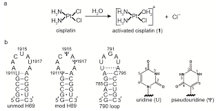 ijms free full text cisplatin targeting of bacterial ribosomal
