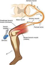 Describe A Reflex Action Reflex Arc Definition Of Reflex Arc By Medical Dictionary