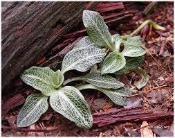 native plant database the native plant society of northeastern ohio