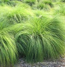 ornamental grass plants for sale perennial zone 5 care