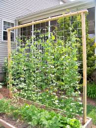 tall trellis for peas building your own pea trellis wearefound