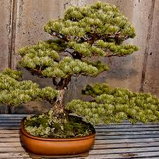 types of bonsai trees bonsai tree care the ultimate guide