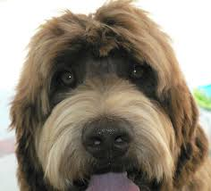 doodle doo labradoodles 25 best harley doodle images on dogs puppies and