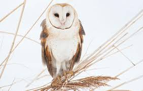Scientific Name Of Barn Owl Learn To Identify Five Owls By Their Calls Audubon
