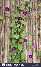 morning glory plant trellis stock photos u0026 morning glory plant