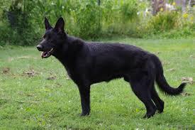belgian shepherd x kelpie german shepherd dog