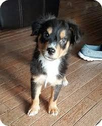 australian shepherd rescue las vegas adopt pluto on australian shepherd dogs sweet and i am