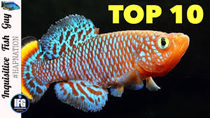 Freshwater Fish The Top 10 Ten Most Colorful Freshwater Fish In The Aquarium