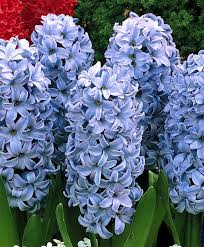 Hyacinth Flower The Hyacinth Forcing And Exhibition Collection Hyacinthus