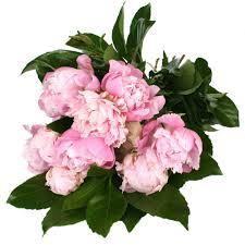 peonies peony flower delivery divine flowers florists brisbane