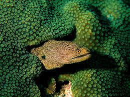 spotted moray eels