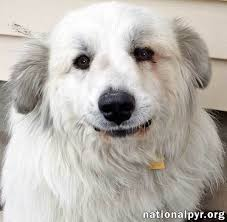 great pyrenees rescue provides wonderful dogs to good homes dog for adoption rocky in nj near ridgewood nj petfinder
