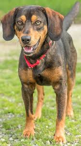 Black And Tan Beagles These Everett Animal Shelter Dogs Need Homes Heraldnet Com