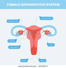 Anatomy Of Reproductive System Female Female Reproductive System Flat Info Graphic Stock Vector