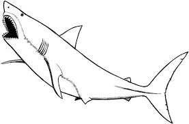 sketch drawing of great w website inspiration great white shark