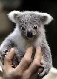 Angry Koala Meme - cool a wet koala wet koala wallpaper site wallpaper site